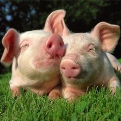 Свиноводство прибыльно или нет