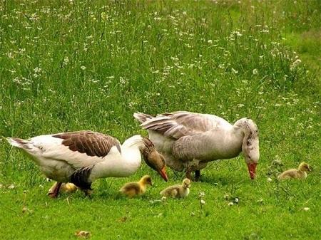 Разведение племени гусей