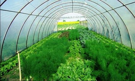 Выращивать зелень в теплице можно круглый год