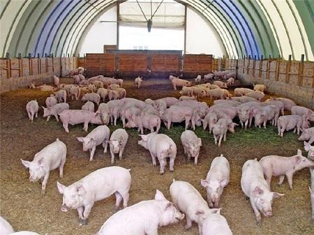 Свиноводство - одна из самых интересных сельхоз идей
