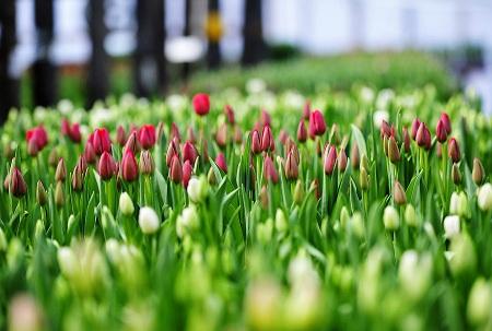 Тюльпаны - очень нежные цветы