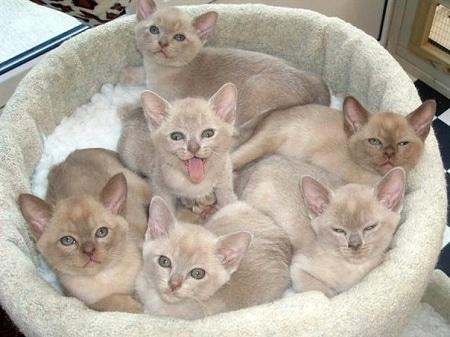 Очаровательные котята, которые еще и прибыль принесут