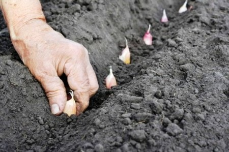 Высаживание чеснока - кропотливая работа