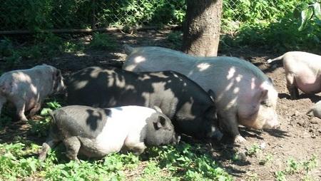 Свиньи любят прогулки
