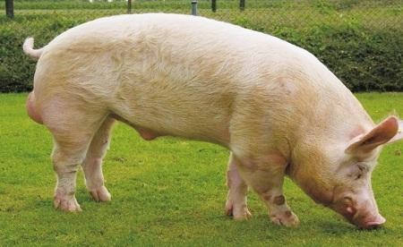 Наиболее популярная порода свиньи у нас