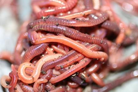 Красный калифорнийский червь
