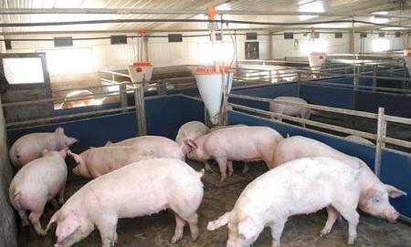 Свинарник должен быть чистым и сухим