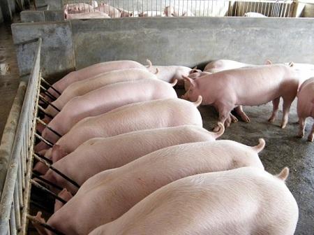 Вкусное мясо зависит от качества питания свиней