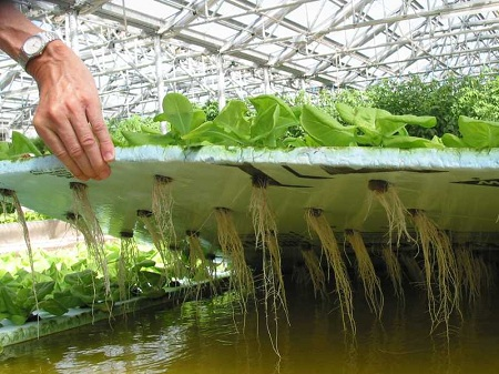 Выращивание зелени методом гидропоники