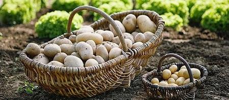 Картофель называют второй хлеб в Беларуси