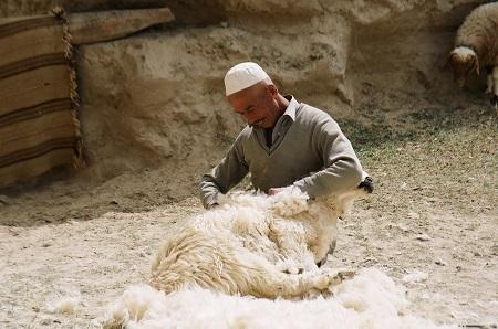 Стрижка овец - процесс трудоемкий