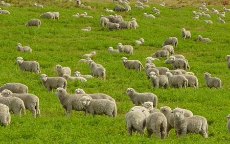 Прекрасное место выгула для овец!