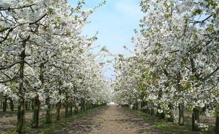 Вишневый сад очень красив в период цветения