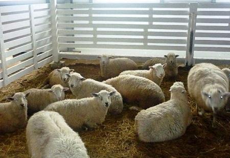 Овцы неприхотливы, но все же требуют комфорта
