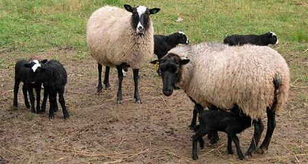Бизнес план овцеводство скачать бизнес план пример 2015