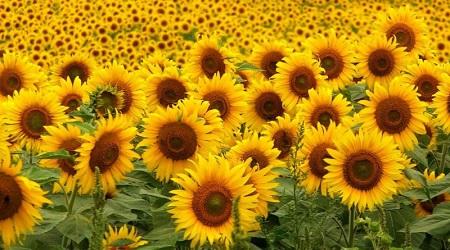 Подсолнух - к тому же еще и красивый цветок