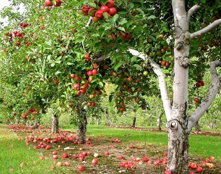 Яблоневый сад - успешный бизнес на селе