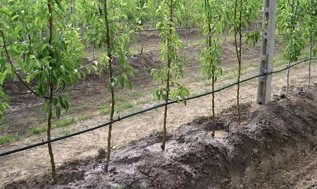 Изображение - Сад как бизнес kapelnaya-sistema-poliva