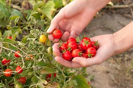 Сбор помидоров черри