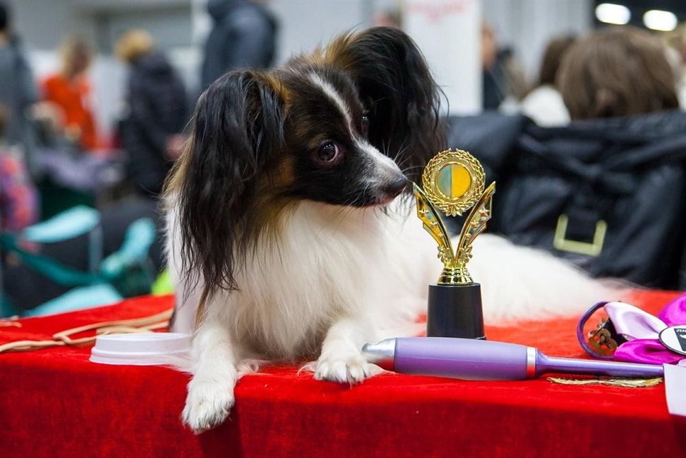 Собака на выставке