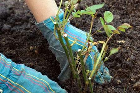 Умение выращивать розы - основное правило для такого бизнеса