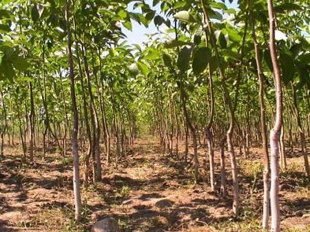 Вот так выглядит ореховый сад