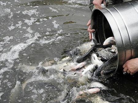 Новая партия рыбы отправляется в платный пруд