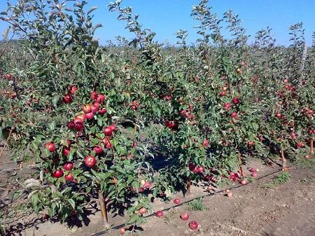 Интенсивный яблоневый сад