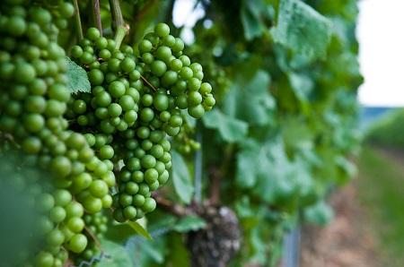 Виноделие бизнес
