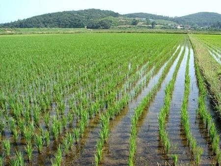 Производство риса
