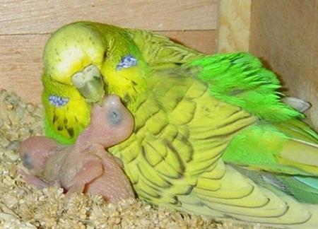 Разведение попугаев бизнес