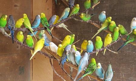 Выращивание попугаев